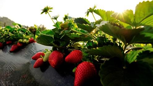 Suchen Sie ein sonnenverwöhntes Plätzchen für Ihre Erdbeeren.