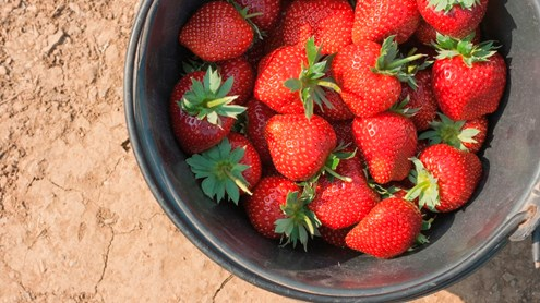 Ernten Sie Ihre eigenen Erdbeeren