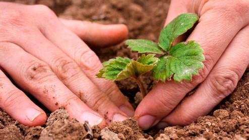 Erdbeeren mögen nährstoffreichen Boden.