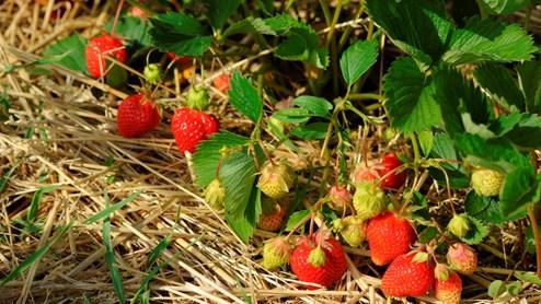 Stroh schützt die Erdbeeren vor Fäule und Schnecken.